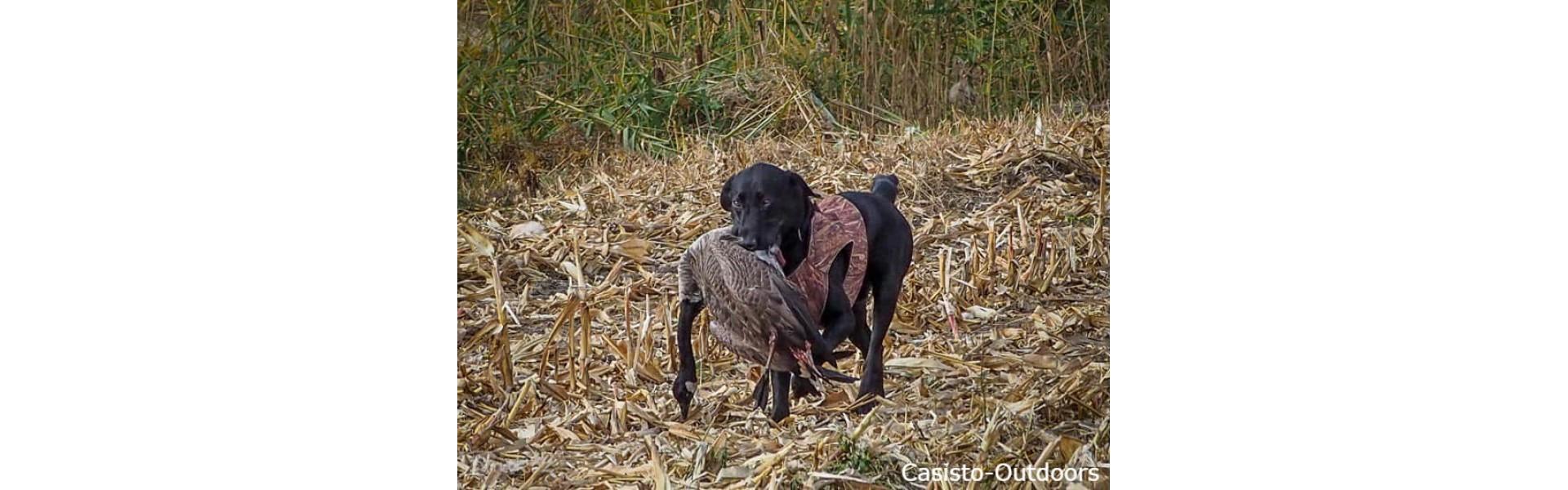 Labrador et bernache